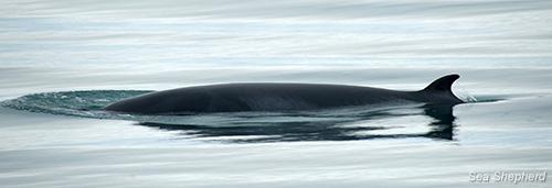 editorial-121212-1-2-arctic-minke