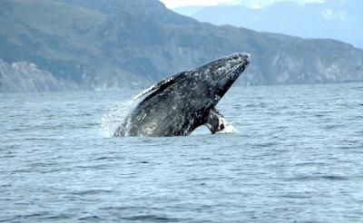 editorial-150311-1-Gray_whale_Merrill_Gosho_NOAA2_crop-400w