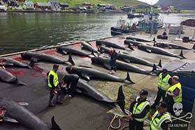 editorial-150825-1-1-RK-grindno2-Another-bloody-slaughter-in-the-name-of-tradition-in-the-Faroe-Islands-5D446829-280w