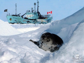 editorial-150331-1-harp-seal-near-thefarley-mowat-58-280w