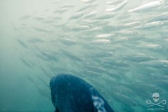 news-170815-1-9-170810-SA-Farmed-Atlantic-salmon-swims-through-school-of-wild-Herring-in-pen-004-1200w