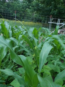 corn.beans