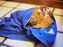 hen in towel