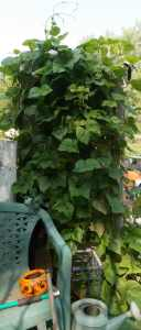 green beans over garden shed