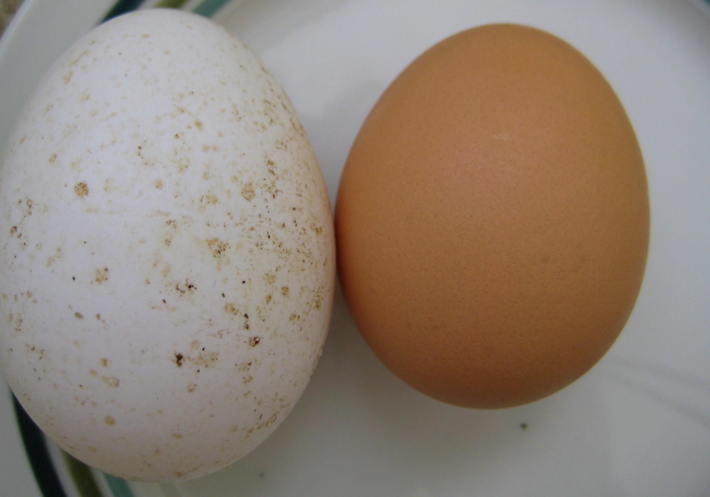 Turkey egg vs. regular ol' chicken egg