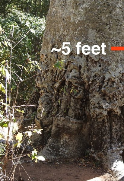 Baobab that was used to feed cattle, but continued to grow and thrive. Under the 5-foot mark, scar tissue has formed where the bark was chewed up and then healed.