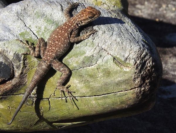 thee-eyed lizard (Chalarodon madagascariensis)