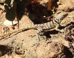 Reptile of the Day: Collared Lizard, aka Cuvier's Madagascar Swift (Oplurus cuvieri)