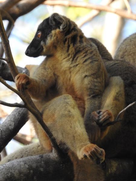 Common Brown Lemur (Eulemur fulvus) on a tree branch