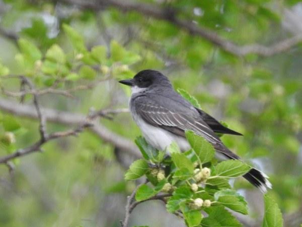 easter kingbird