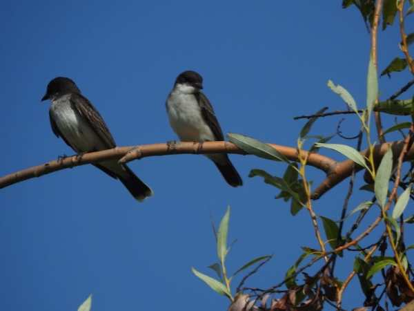 adult and juvenile eastern kingbird sitting on a branch