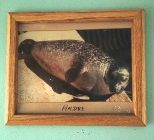 A photo of Andre the Seal taken in Rockport Harbor Master building.
