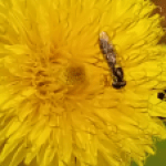 A small insect with striped body on a yellow flower