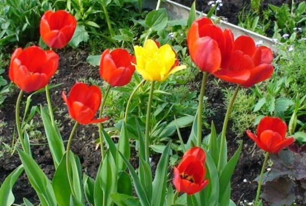 Как посадить тюльпаны на выгонку — Сад и огород