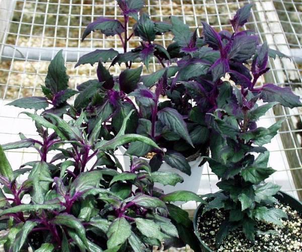 Комнатный цветок с фиолетовыми листьями фото — Сад и огород