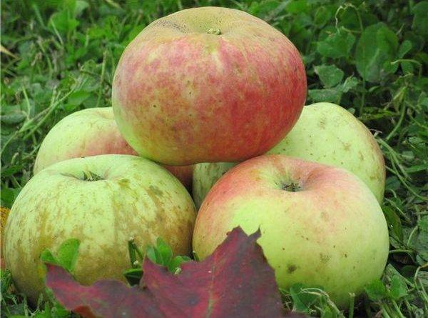 Старые сорта яблок с фото и описанием — Сад и огород