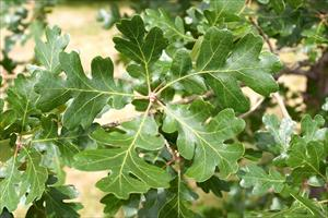 photo close-up of oak leaves