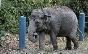 Bamboo, a 47-year-old Asian elephant, walks in her enclosure at the Woodland Park Zoo on Wednesday, Nov. 19, 2014. (AP Photo/Elaine Thompson)