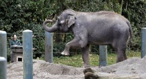 Chai, a 35-year-old Asian elephant, holds a pose as she waits for a zookeeper to place hay in a box in her enclosure at the Woodland Park Zoo on Wednesday, Nov. 19, 2014, in Seattle. (AP Photo/Elaine Thompson)