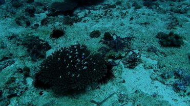 Clip 10: Two Stripe Damselfish (Dascyllus reticulatus) and a solo Surgeonfish (Paracanthurus hepatus) at a Acropora Valida Coral. Dive site: Big T-Wall