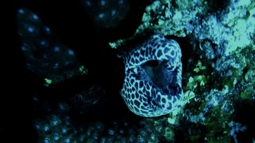 Clip 31: Honeycomb Moray Eel opening mouth. Dive site: Big T-Wall