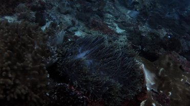 Clip 4: Radianthus anemone. Dive site: Remora