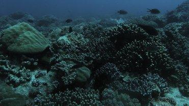 Clip 5: Parrotfish, Silver Damsels, Axilspot Hogfish (Bodianus axillaris), and various tropical fish. Dive site: Bongoyo Patches