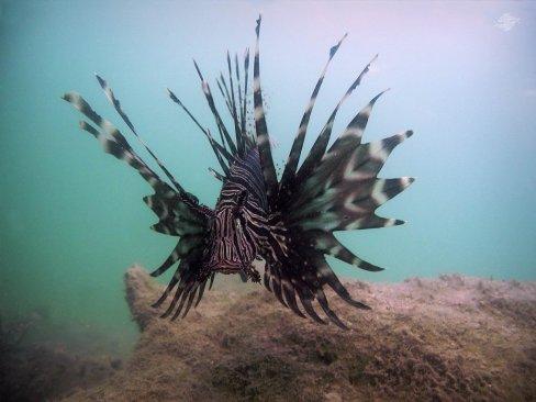 Lionfish in Dar es Salaam 1024 x 768