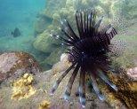 Lionfish off Coast of Kilwa 1280 x 1024