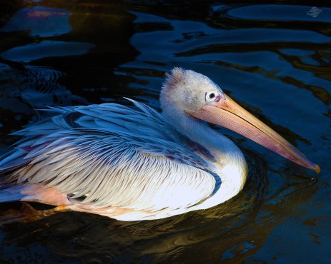 Pelican 1280 x 1024