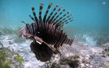 Lionfish in Waters of Mafia Island 1680 x 1050