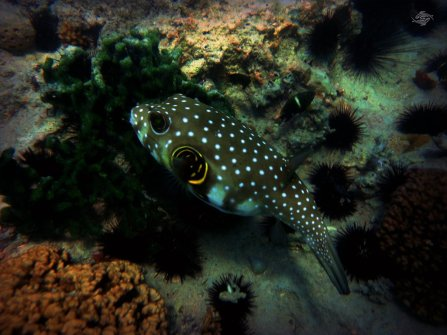 Spotted Puffer 1024 x 768