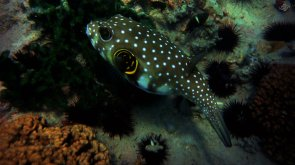 Spotted Puffer 1920 x 1080
