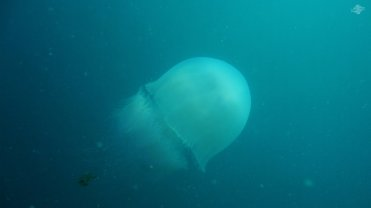 Giant Jelly with Trailing Fish 1920 x 1080