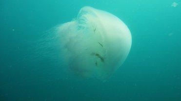 Giant Jellyfish 1920 x 1080
