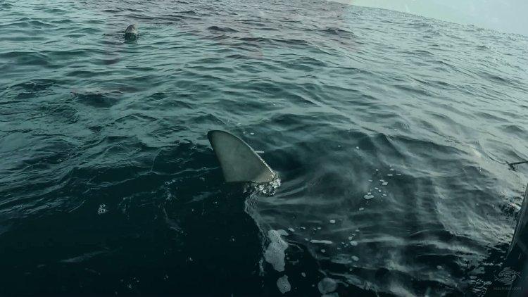 Blacktip Shark Dorsal Fin