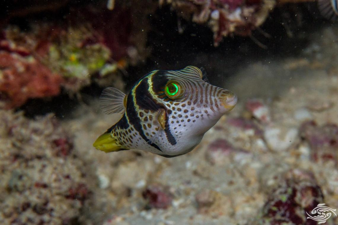 black saddled toby (Canthigaster Valentini) also known as the saddled toby andvalentini's sharp nose puffer