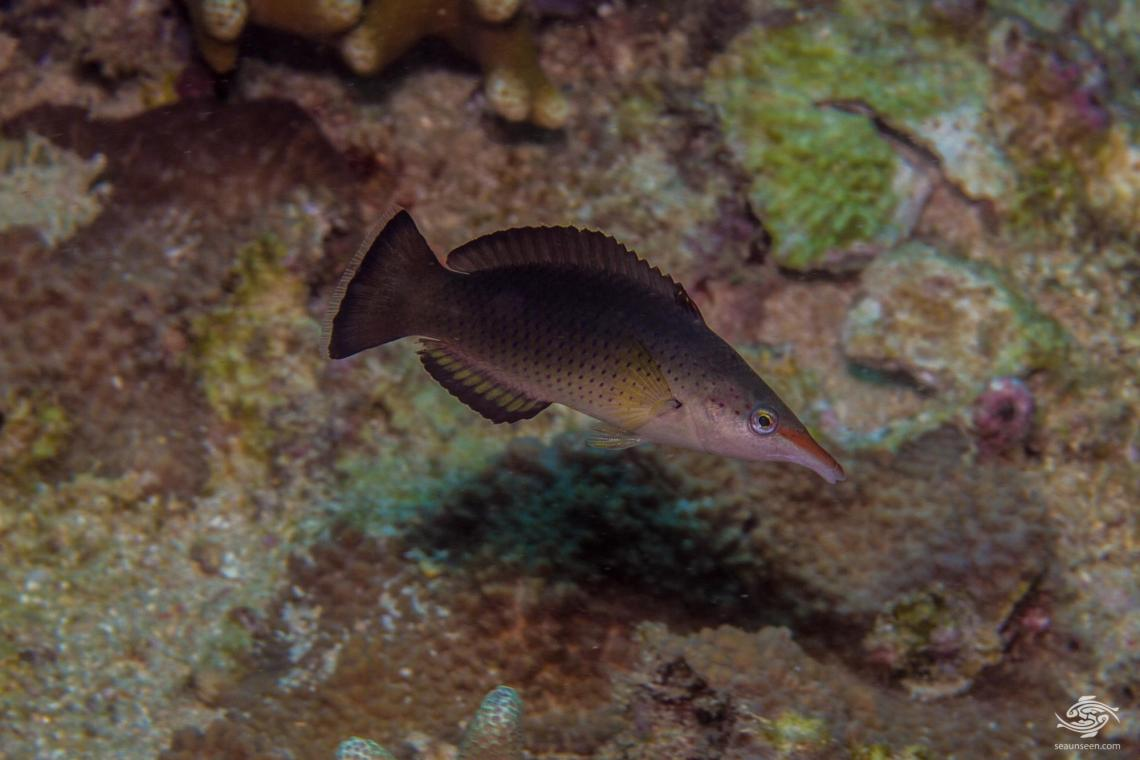 bird wrasse (Ghomphosus varius) also known as the bird fish, club nosed fish