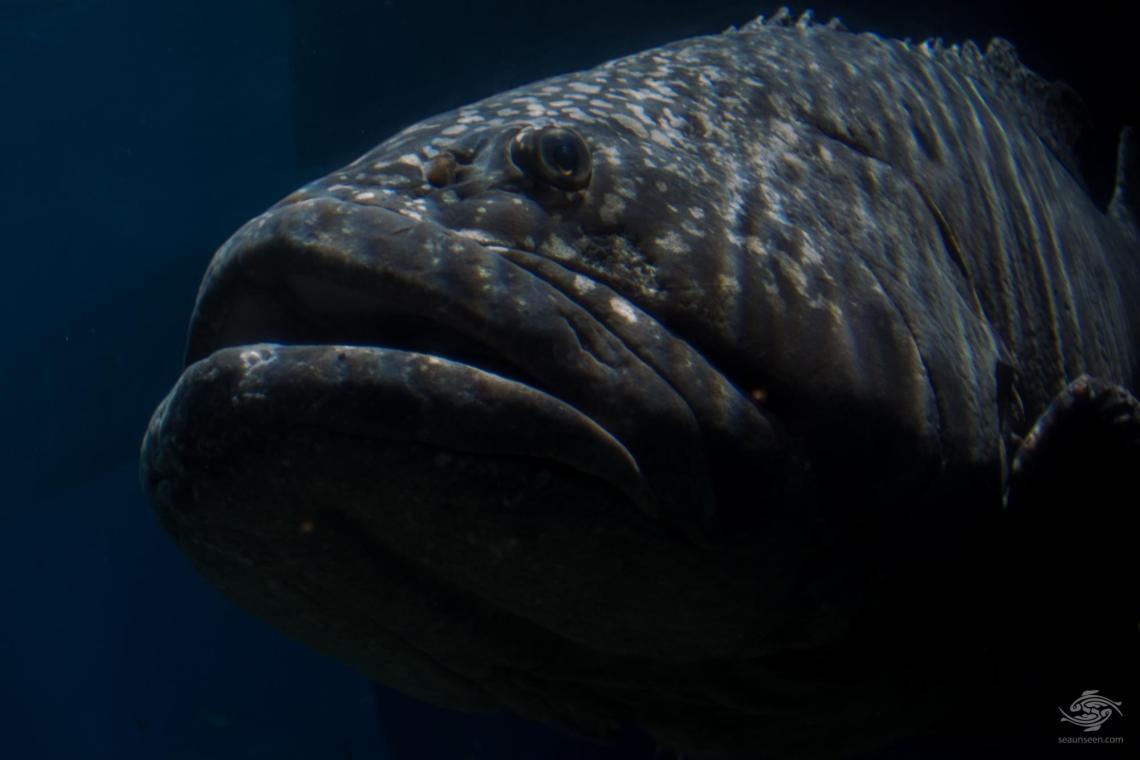 giant grouper Epinephelus lanceolatus