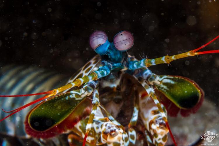 peacock mantis shrimp (Odontodactylus scyllarus)