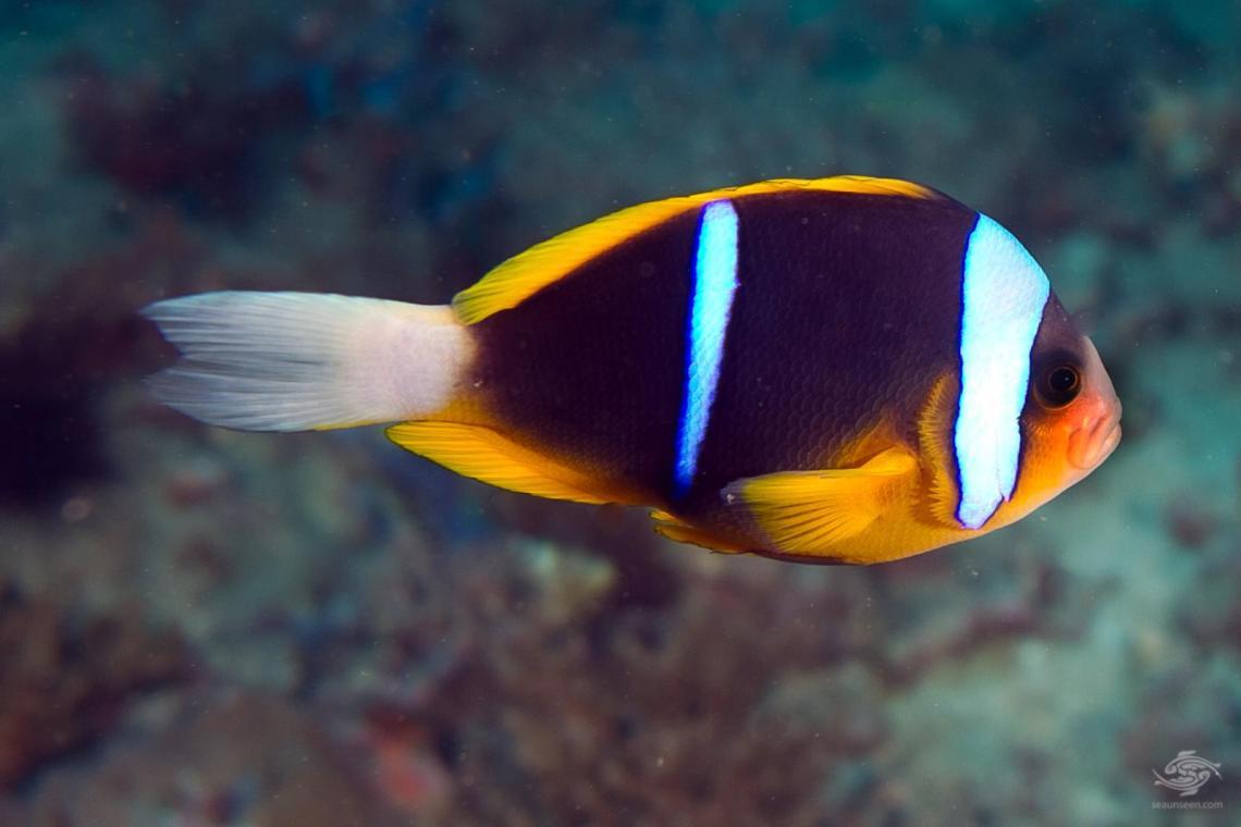 An Allards Clown fish Amphiprion allardi on Kankadya patches