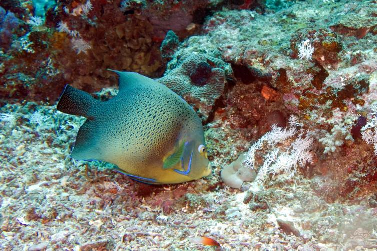 Koran angelfish, blue angelfish or semicircle angelfish (Pomacanthus Semicirculatus)