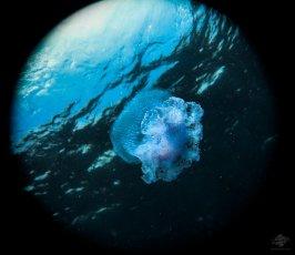 Jellyfish near the surface