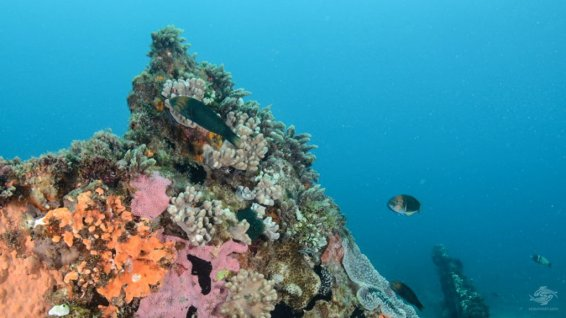 Parrotfish among soft corals