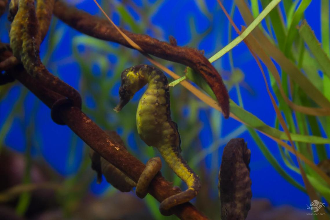 Knysna or Cape Seahorse (Hippocampus capensis)