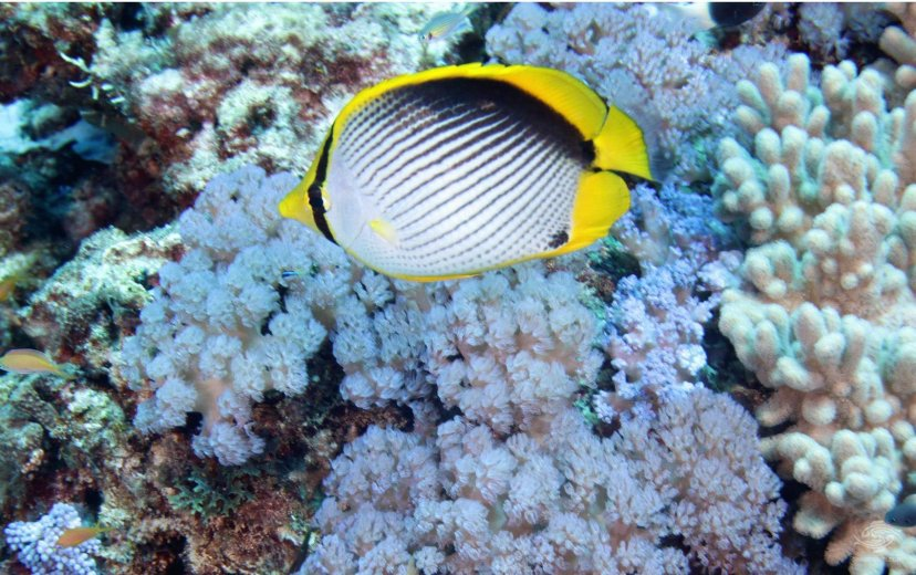 Black Back Butterflyfish, also known as the Melannotus Butterflyfish (Chaetodon melannotus)