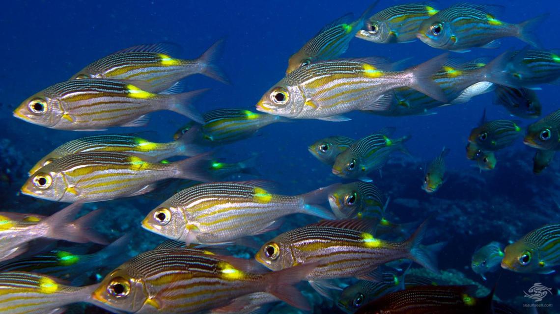 A shoal of Glowfish in the Mafia Island Marine Park diving Tanzania