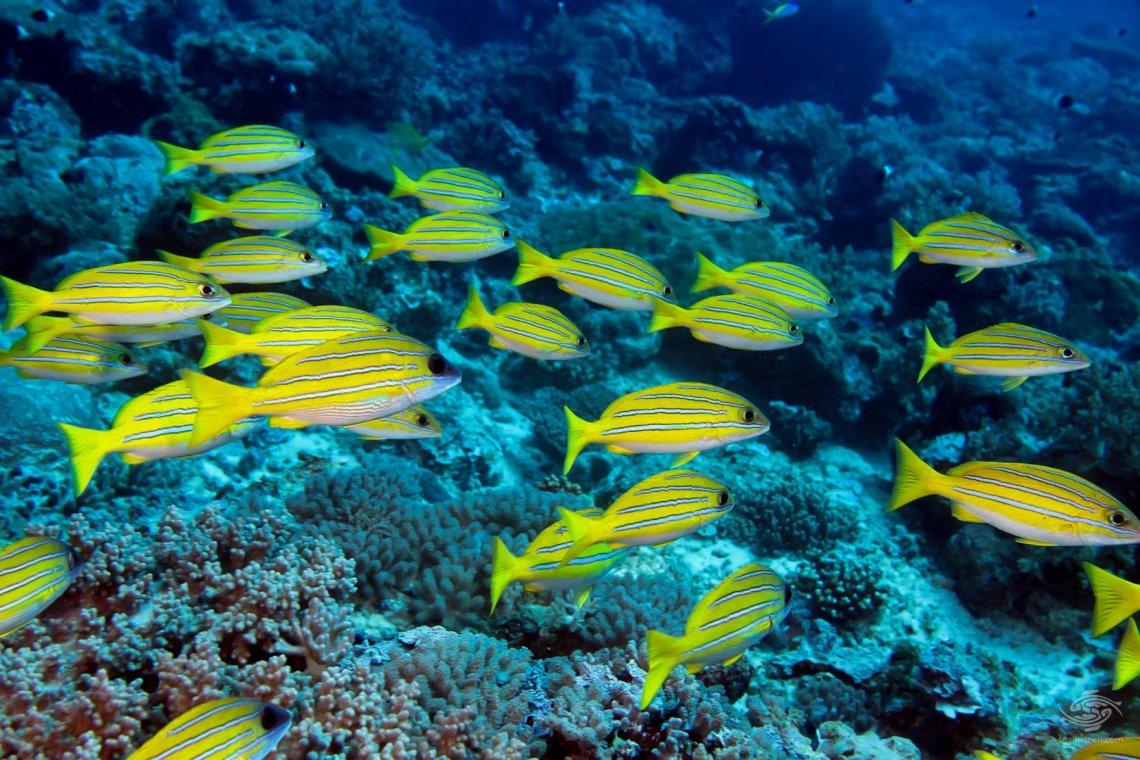 Blue lined snapper Mikadini reef Mafia Island Tanzania dive sites