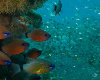 Ring-tail cardinalfish, Apogon aureus and flame cardinalfish,Apogon maculatus glow in the light of the photographers strobe