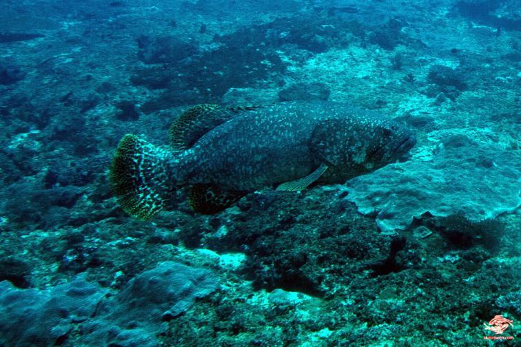 Giant grouper Epinephelus lanceolatus named Mohammed in Mafia Island Marine Park